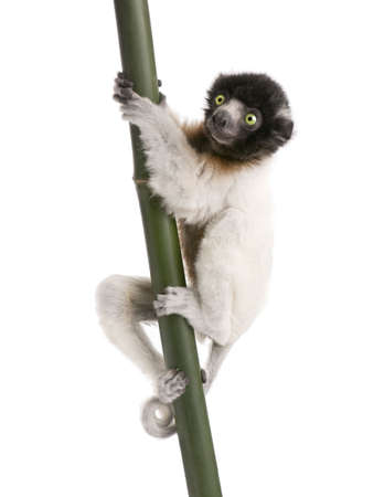 young Crowned Sifaka - Propithecus coronatus (3 months) in front of a white background (species endemic to Madagascar) photo