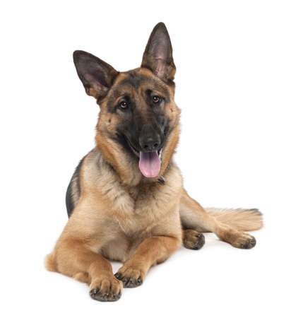 perro policia: pastor alem�n (13 meses) delante de un fondo blanco