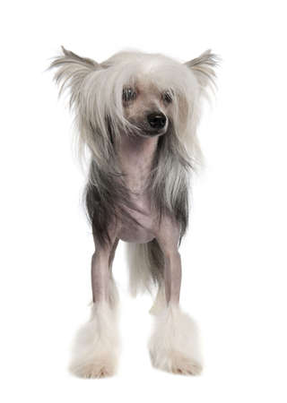 lapdog: Chinese Crested Dog Hairless - (14 months old) in front of a white background