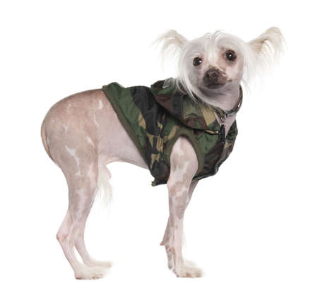 chinese crested dog Hairless dog (3 years old) in front of a white background photo