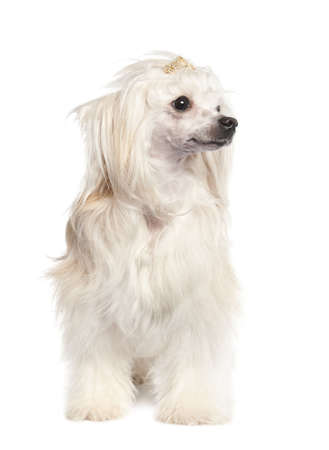 chinese crested dog ( 4 years old) in front of a white background photo