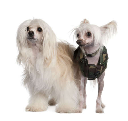 lapdog: couple of a Chinese Crested Dog Hairless and powderpuff in front of a white background