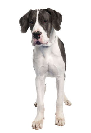 Great Dane puppy (6 months old) in front of a white background photo