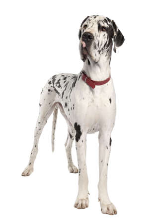 harlequin Great Dane in front of a white background