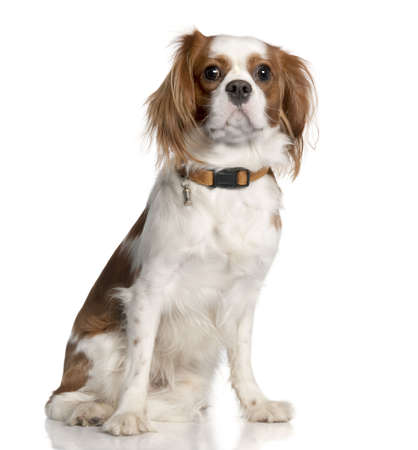Cavalier King Charles Spaniel (1 year old) in front of a white background photo
