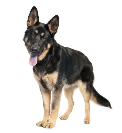 perro policia: pastor alem�n (7 meses) delante de un fondo blanco Foto de archivo