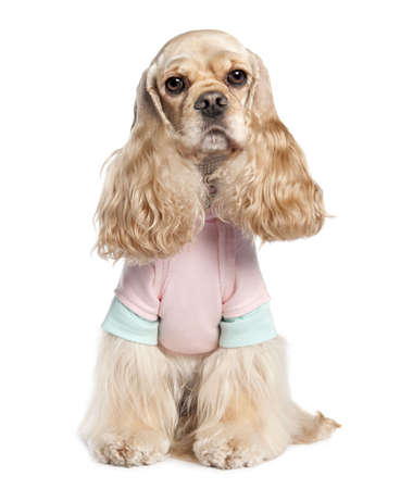 American Cocker Spaniel (2 years old) in front of a white background