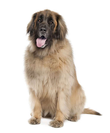 black giant mountain: Leonberger( 6 years old ) in front of white background