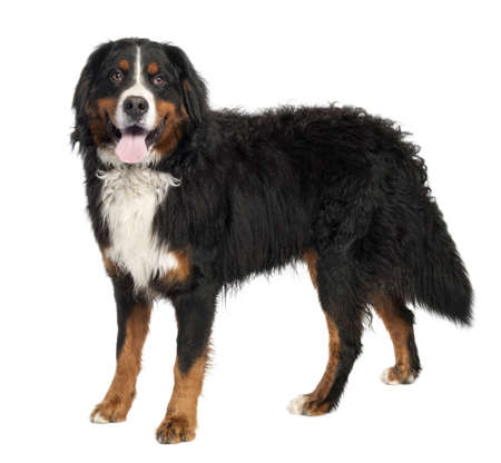Bernese mountain dog (10 months old) in front of a white background photo
