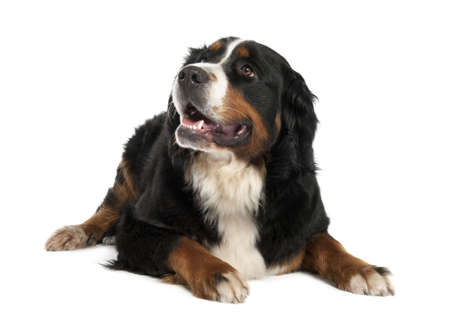 inhaling: Bernese mountain dog (13 months old) in front of a white background Stock Photo