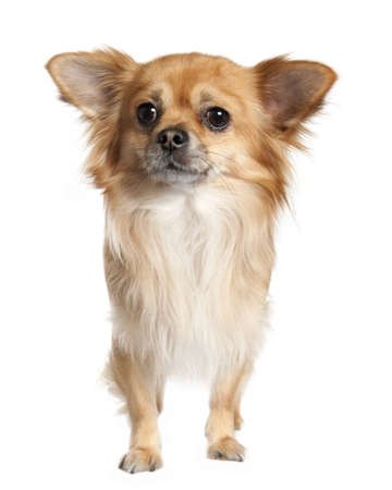 long haired chihuahua: long haired chihuahua (3 years old) in front of a white background Stock Photo