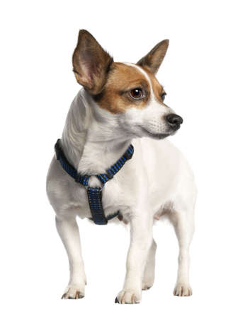 Jack russell (5 years old) in front of a white background photo