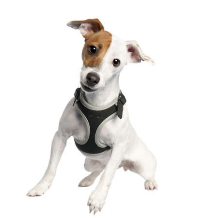 Jack russell (9 months old)in front of a white background photo