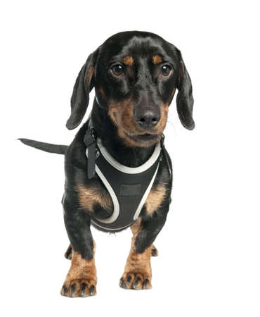 Dachshund (9 months old) in front of a white background photo