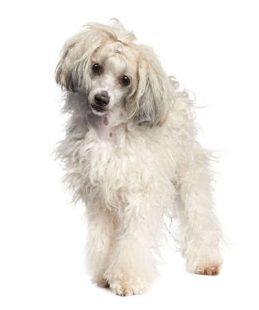 Chinese Crested Dog - Powderpuff (1 year old) in front of a white background