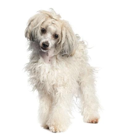 Perro Crestado Chino - Powderpuff (1 año de edad) en frente de un fondo blanco