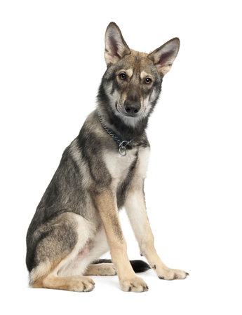 german shepherd puppy: Saarloos Wolf Dog puppy (5 months old) in front of a white background