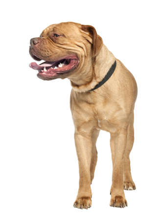 gardian: Mastiff (1 year old) in front of a white background