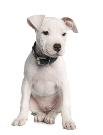 open pit: American Staffordshire terrier puppy (2 months) in front of a white background Stock Photo
