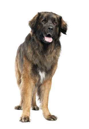 black giant mountain: Leonberger (3 years old) in front of white background