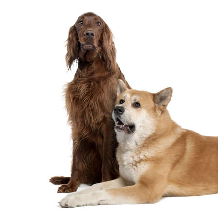 couple of a Irish Setter (3 years) and a akita inu (4 years old) in front of a white background photo