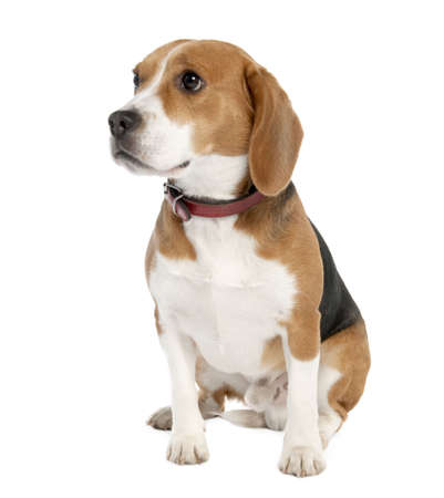 beagle terrier: Beagle (18 months old) in front of white background
