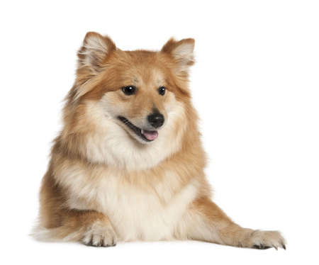 Spitz (6 years old) in front of white background photo