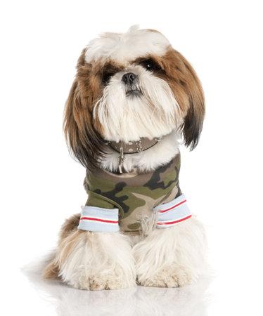 perros vestidos: Shih Tzu (1 a�o) en frente de un fondo blanco Foto de archivo