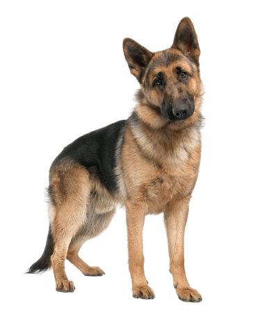 perro policia: pastor alem�n (8 meses) delante de un fondo blanco