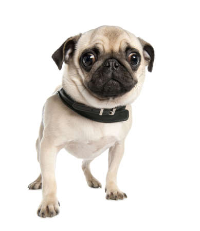 carlin: pug (17 months) in front of a white background  Stock Photo
