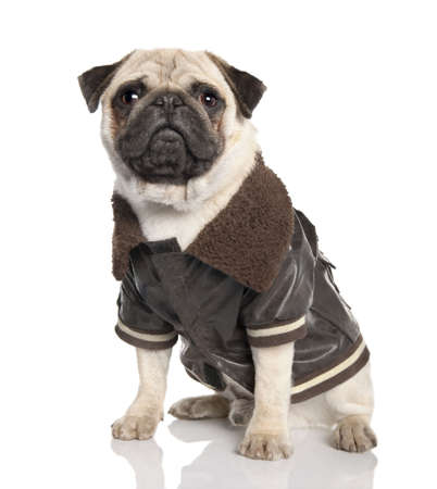 perros vestidos: pug (10 meses) delante de un fondo blanco Foto de archivo