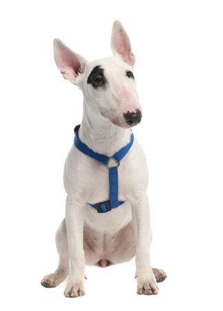 toros: Bull Terrier cachorro (7 meses) delante de un fondo blanco