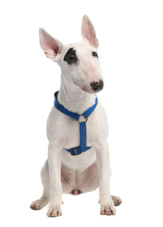 Bull Terrier puppy (7 months old) in front of a white background Stock Photo