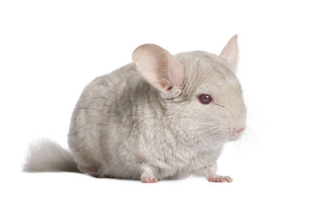 Chinchilla (4 years old) in front of a white background photo