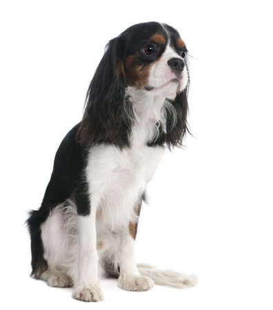 Cavalier King Charles Spaniel (18 months old) in front of a white background photo