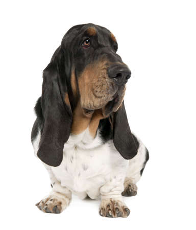 Basset Hound (10 months old) in front of a white background photo