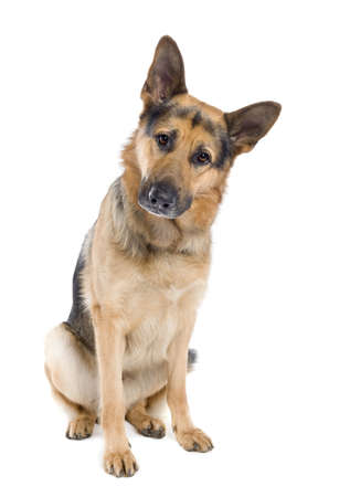 police dog: german shepherd (2 years old) in front of a white background Stock Photo