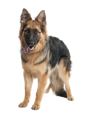 german shepherd (7 months old) in front of a white background photo