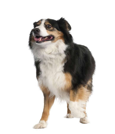 Mixed-Breed Dog between a border collie and a bernese montaine dog in front of a white background photo