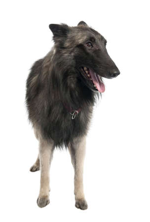 Puppy Belgian Tervuren (2 years old) in front of a white background photo
