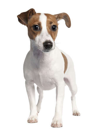 Jack russell (10 months old) in front of a white background photo