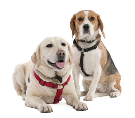 Couple of a Beagle and a labrador (4 and 2 years old) in front of white background photo