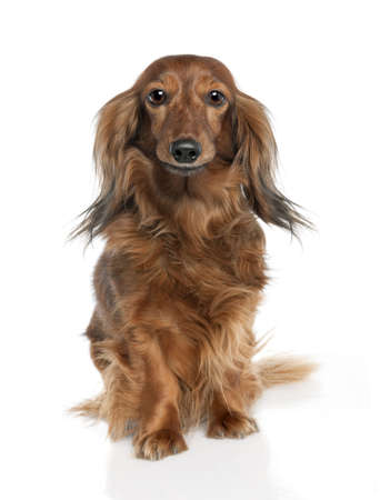 Dachshund (7 years old) in front of a white background photo