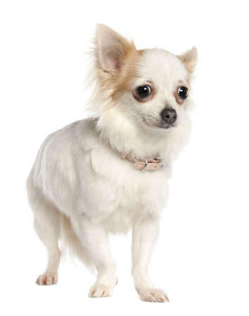 minuscule: long haired chihuahua (11 months old) in front of a white background