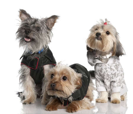 2 years old: group of three Yorkshire Terrier (2 years old and 8 months) in front of a white background