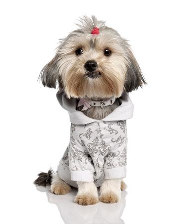 perros vestidos: Yorkshire Terrier en frente de un fondo blanco Foto de archivo