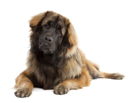 black giant mountain: Leonberger (10 months old) in front of white background