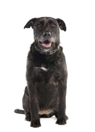 Mixed-Breed Dog between a bernese mountain and an american staffordshire terrier in front of a white background photo