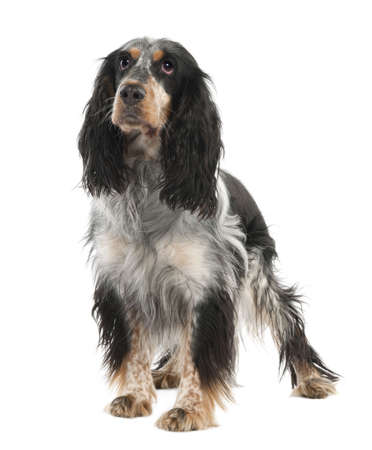 2 years old: English Springer Spaniel (2 years old) in front of a white background Stock Photo