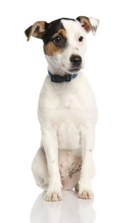 Jack russell puppy (5 months old) in front of a white background photo